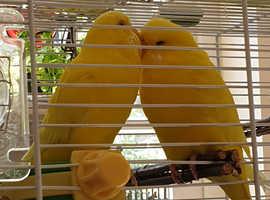 Gorgeous couple of Budgies Lutinos