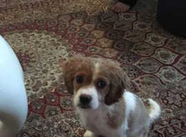 Cavashon Puppy For Sale