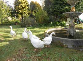 Pet Geese ...