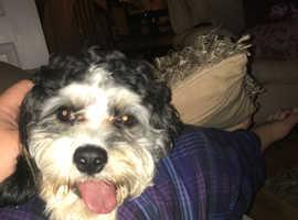 Cavashon dog for stud