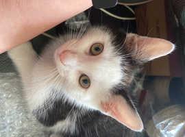 Boris 14 week male kitten Anfield Road long sutton not seen since 12 o'clock today