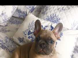 Short n stocky French bulldog puppies