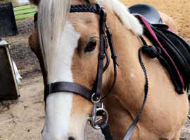 13hh palomino pony