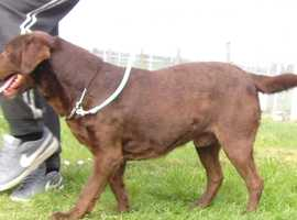 Labrador stud dog proven. KC reg. Health tested.