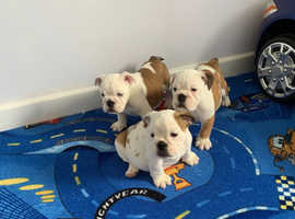 Only 1 girls left English kc reg red and white bulldog puppies for sale
