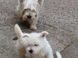 Westie pup's