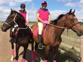 16.2 Thoroughbred Dark Bay Gelding & 16.2 Thoroughbred Bay Gelding
