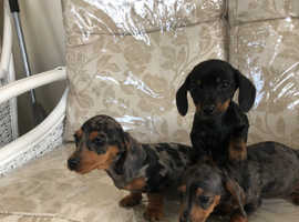 3 Dachshund puppies for sale
