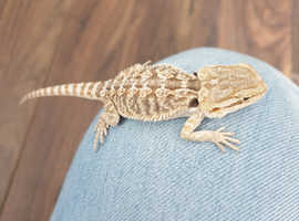 3 x Baby bearded dragons