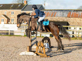 Green Passported Welsh Sec D Gelding