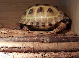 Adult Russian tortoise