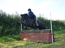 14hh 10 year old gelding for full loan