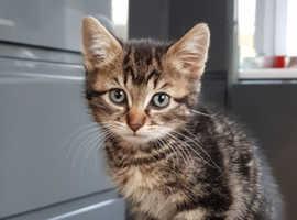 Tabby x kittens