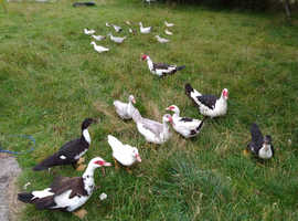 Muscovy Ducks and Ducklings