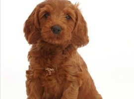 Looking for Labradoodle puppy
