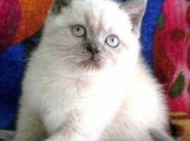 Adorable British shorthair colourpoint kittens