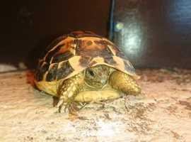 Western Hermanns Tortoise CB18