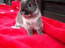 Neverland Dwarf Rabbits