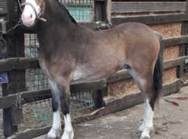 section a yearling