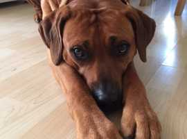 Rhodesian Ridgeback  K C Registered,  Stud Dog (not for sale)