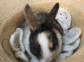 Two 8 week old bunny's for sale