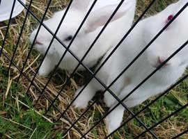 White Vienna rabbit with blue eyes