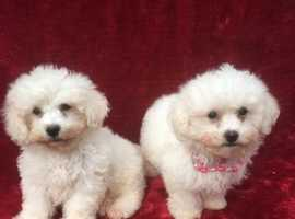 Bichon Frise Dogs & Puppies For Sale & Rehome in Hillingdon