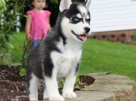 Knn bkk Blue EYES And white nose siberian husky puppies