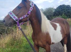 Arab cross quater horse