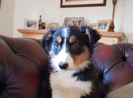 Border Collie X New Zealand Huntaway Puppies For Sale