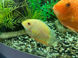 4 golden severum bundle for sale