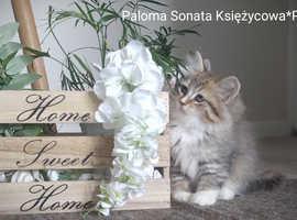 Siberian kitten with WCF Pedigree.