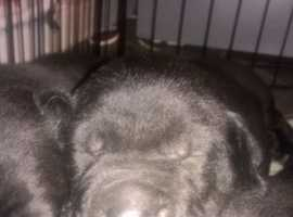champion pedigree cane corso puppys