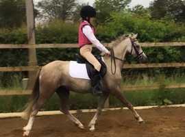 Stunning British riding pony