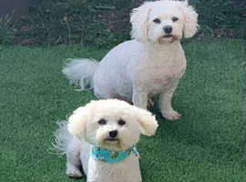 Pure Bichon Frise puppies
