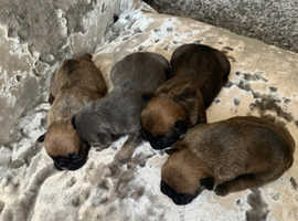 3 kc reg French bulldogs puppies