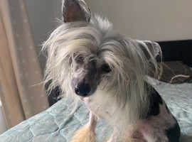 Chinese Crested Powderpuff Boy
