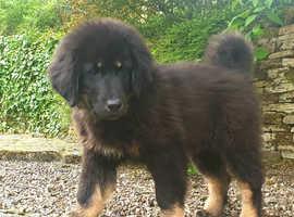 Tibetan Mastiff HUGE puppies
