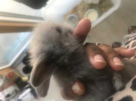 Grey baby rabbit for sale