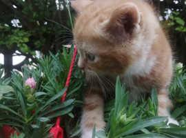Half Persian kittens for sale