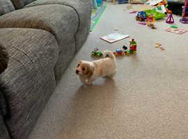 Lovely cavachon puppy