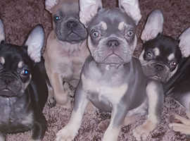 frenchbull dog puppies choc and lilac