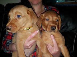 labrador puppys 5 boys & 2 girls left
