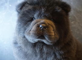 Chow Chow from Russia