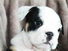 Beautiful chunky English bulldog pups