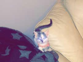 8 week old kitten female