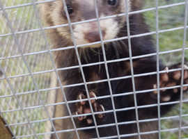 Hob ferret wanted