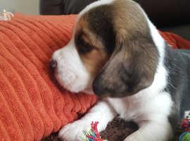 Kc beagle pups