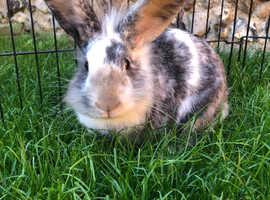 2 Beautiful bonded rabbits & hutch