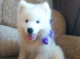 Samoyed puppy with FCI pedigree